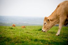 Vaca pelirroja que come la hierba verde fresca en un campo Imagen de archivo