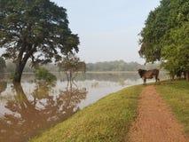 Vaca pelo lago Imagens de Stock Royalty Free
