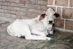 Vaca pequena imagem de stock