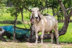 vaca pequena que olha a câmera imagens de stock