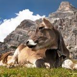 Vaca perto de Monte Pelmo, dolomites, Itália fotografia de stock royalty free