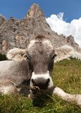 Vaca perto de Monte Pelmo, dolomites, Itália imagens de stock royalty free