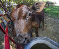 Vaca perto do furo bebendo Foto de Stock Royalty Free
