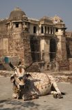 Vaca pintada Imagens de Stock Royalty Free