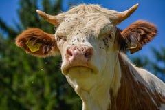 Vaca por completo de moscas Fotos de archivo libres de regalías