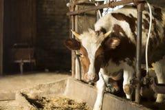 Vaca por la litera Fotos de archivo libres de regalías