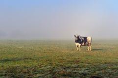 Vaca por la mañana Fotos de archivo libres de regalías