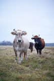 Vaca preparada no gramado na queda fotos de stock royalty free