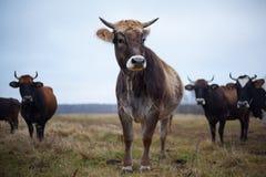 Vaca preparada no gramado na queda fotografia de stock royalty free