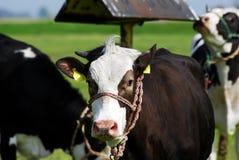 Vaca preta Imagem de Stock