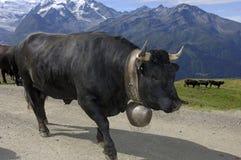 Vaca preta Foto de Stock