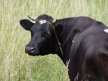 Vaca preta Imagem de Stock Royalty Free