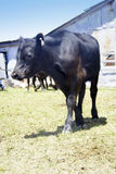 Vaca preta Imagens de Stock