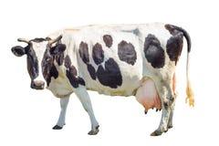 Vaca preto e branco com uma grande teta isolada no fundo branco Comprimento completo manchado da vaca engraçada isolado no branco Fotos de Stock