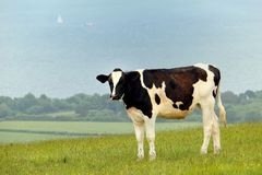 Vaca preto e branco do frisão que está em um prado litoral do montanhês com os barcos no mar no fundo imagem de stock