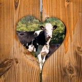 Vaca preto e branco em um coração Imagem de Stock