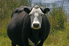 Vaca preto e branco, Inglaterra Foto de Stock