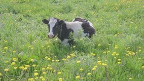 A vaca preto e branco manchada é pastada e alimentada no campo com os dentes-de-leão de florescência do amarelo, cena idílico do  video estoque