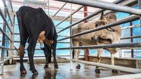 Vaca preto e branco na tenda Foto de Stock
