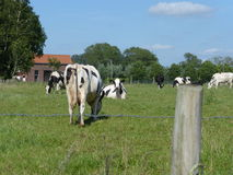 Vaca preto e branco no prado Foto de Stock