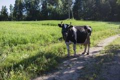 Vaca quadriculado em uma estrada do prado Imagens de Stock