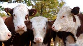 Vaca quatro Imagem de Stock