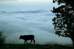 vaca que anda em um dia nebuloso Imagem de Stock