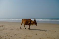 Vaca que anda na praia Imagens de Stock Royalty Free