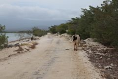 Vaca que anda perto do oceano fotografia de stock