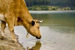 Vaca que bebe del lago Imágenes de archivo libres de regalías