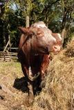 Vaca que come el heno Fotografía de archivo libre de regalías