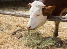 Vaca que come el heno Imágenes de archivo libres de regalías