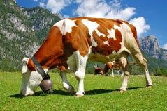 Vaca que come en las montan@as Imágenes de archivo libres de regalías