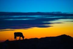 Vaca que come en una montaña Imagen de archivo libre de regalías
