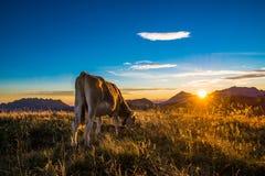 Vaca que come en una montaña Foto de archivo libre de regalías