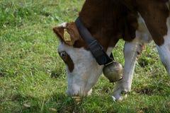 Vaca que come a grama imagem de stock