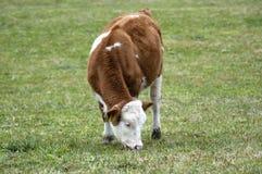 Vaca que come a grama Fotografia de Stock Royalty Free