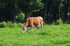 Vaca que come a grama Imagens de Stock