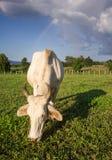 Vaca que come a grama Fotos de Stock