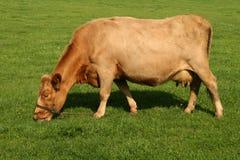 Vaca que come a grama fotos de stock royalty free