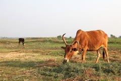Vaca que come a grama no campo Foto de Stock Royalty Free