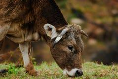 Vaca que come la hierba Imagen de archivo