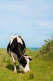 Vaca que come la hierba Fotografía de archivo