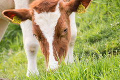 Vaca que come la hierba Fotos de archivo libres de regalías