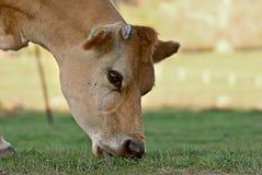Vaca que come la hierba Imagen de archivo libre de regalías