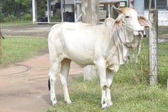 Vaca que come la hierba Foto de archivo libre de regalías