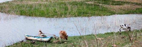 Vaca que come la hierba en lado del agua Fotografía de archivo libre de regalías