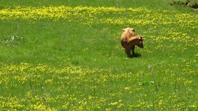Vaca que come la hierba en las montañas de Azerbaijan almacen de video