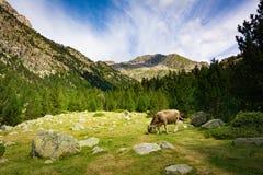 Vaca que come la hierba en un lado de la montaña Parque nacional de Aiguestortes en catalán los Pirineos, España fotografía de archivo