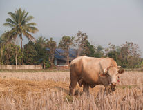 Vaca que come la hierba y la paja en pasto Imagenes de archivo